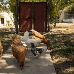 New Laws on Chicken Ownership Could Help Reduce Food Insecurity in San Antonio